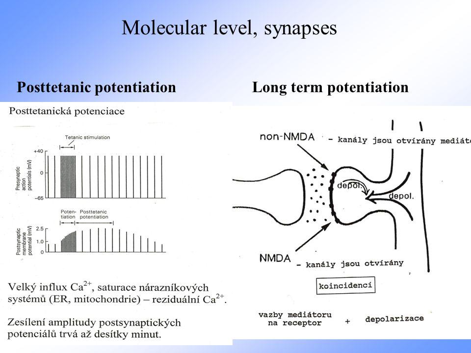 Molecular level, synapses Posttetanic potentiation Long term potentiation