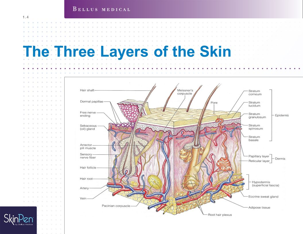 The Three Layers of the Skin 1.4
