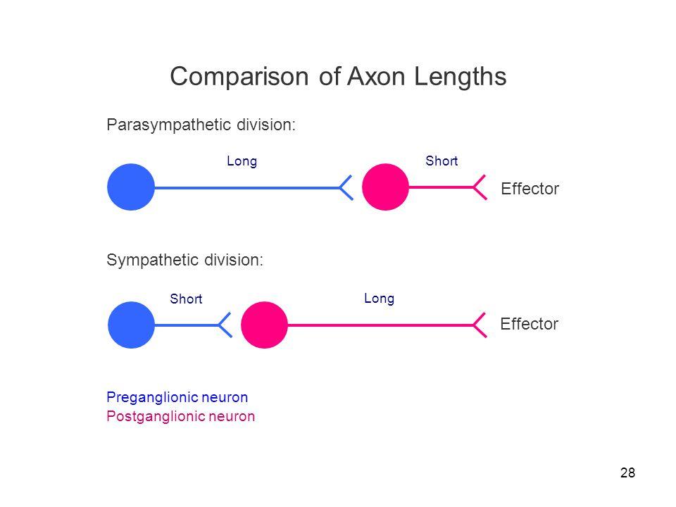 28 Comparison of Axon Lengths Preganglionic neuron Postganglionic neuron Effector Sympathetic division: Short Long Effector Parasympathetic division: