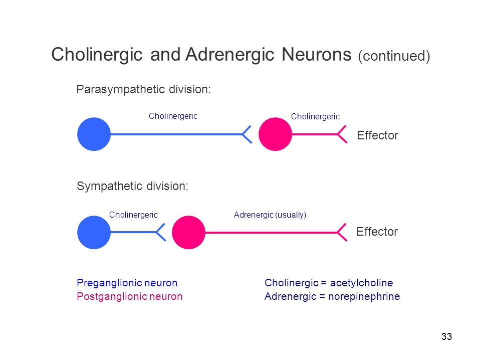 33 Cholinergic and Adrenergic Neurons (continued) Preganglionic neuron Postganglionic neuron Effector Sympathetic division: Cholinergeric Adrenergic (