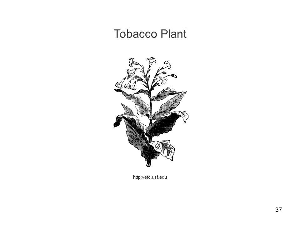 37 Tobacco Plant http://etc.usf.edu