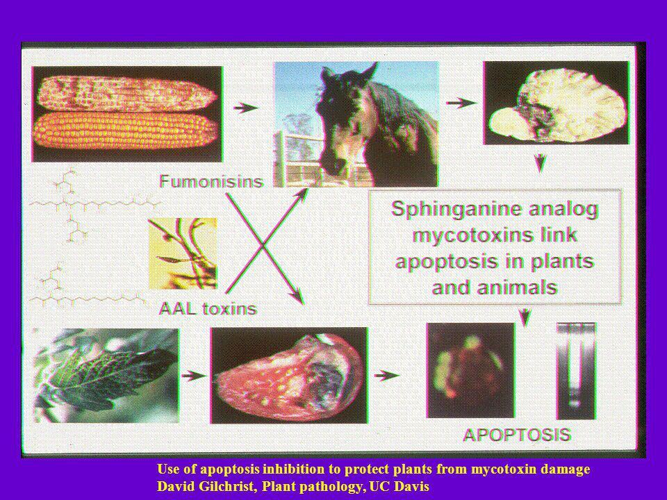 Use of apoptosis inhibition to protect plants from mycotoxin damage David Gilchrist, Plant pathology, UC Davis