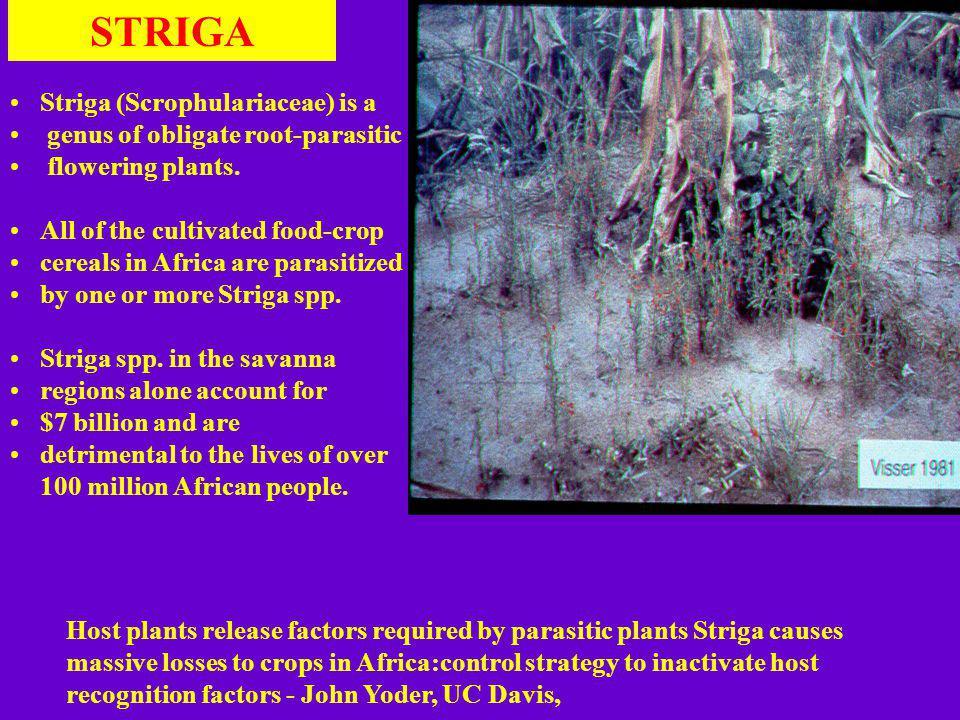 Striga (Scrophulariaceae) is a genus of obligate root-parasitic flowering plants.