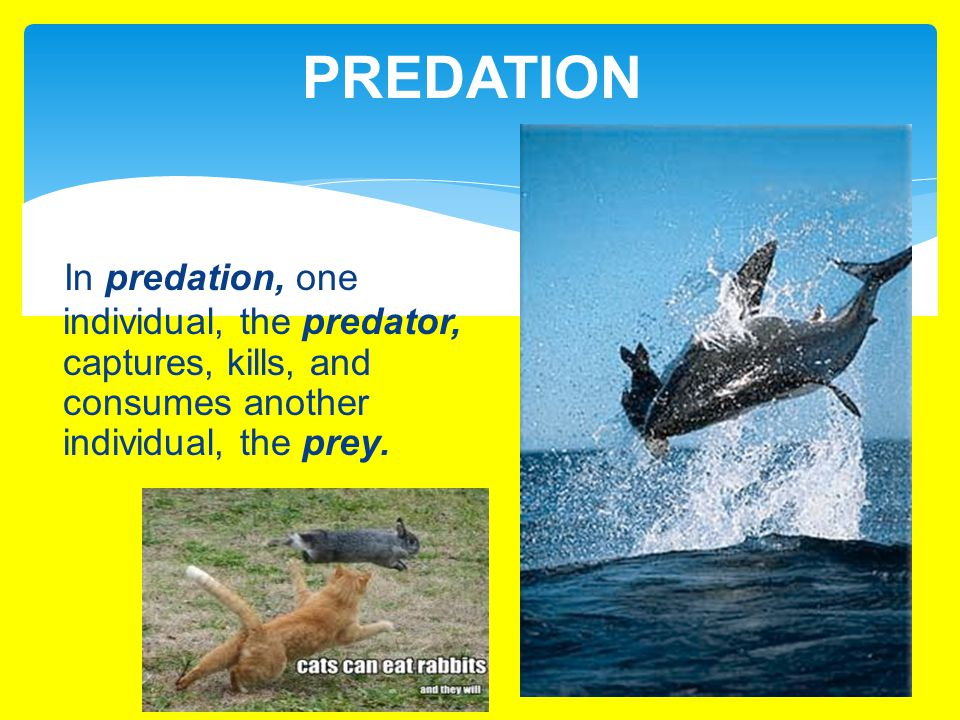 PREDATION In predation, one individual, the predator, captures, kills, and consumes another individual, the prey.