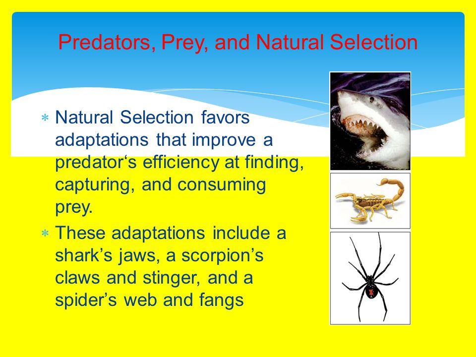 Predators, Prey, and Natural Selection  Natural Selection favors adaptations that improve a predator's efficiency at finding, capturing, and consuming prey.