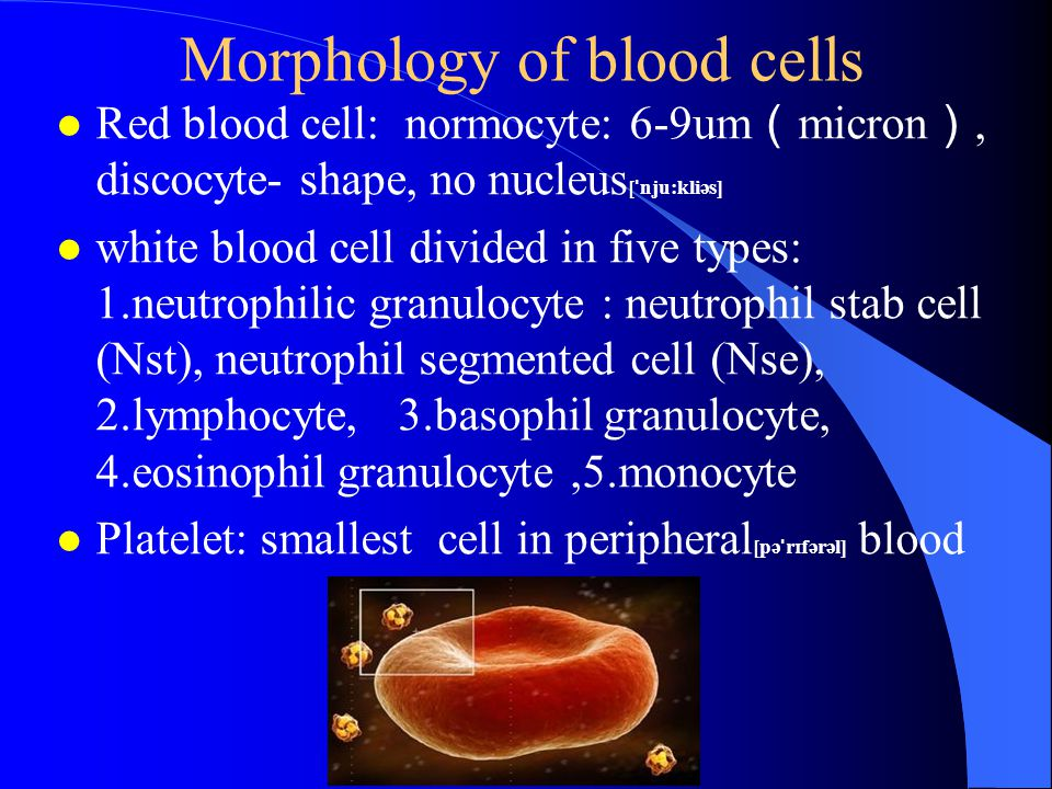 Morphology of blood cells l Red blood cell: normocyte: 6-9um ( micron ), discocyte- shape, no nucleus [ ˈ nju:kliəs] l white blood cell divided in five types: 1.neutrophilic granulocyte : neutrophil stab cell (Nst), neutrophil segmented cell (Nse), 2.lymphocyte, 3.basophil granulocyte, 4.eosinophil granulocyte,5.monocyte l Platelet: smallest cell in peripheral [pə ˈ r ɪ fərəl] blood