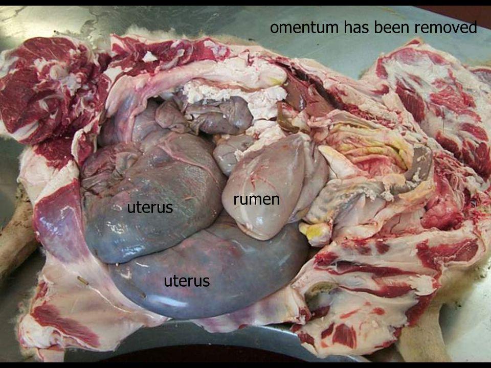 uterus rumen omentum has been removed