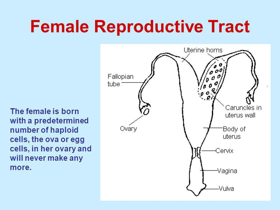 Female Reproductive Tract The female is born with a predetermined number of haploid cells, the ova or egg cells, in her ovary and will never make any more.