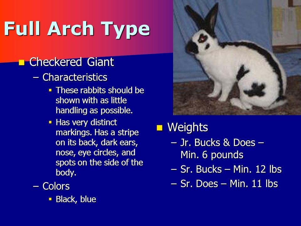 Full Arch Type Checkered Giant Checkered Giant –Characteristics  These rabbits should be shown with as little handling as possible.