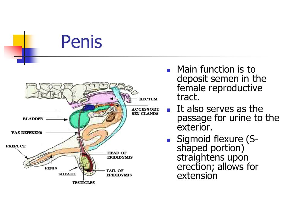 Penis Main function is to deposit semen in the female reproductive tract.