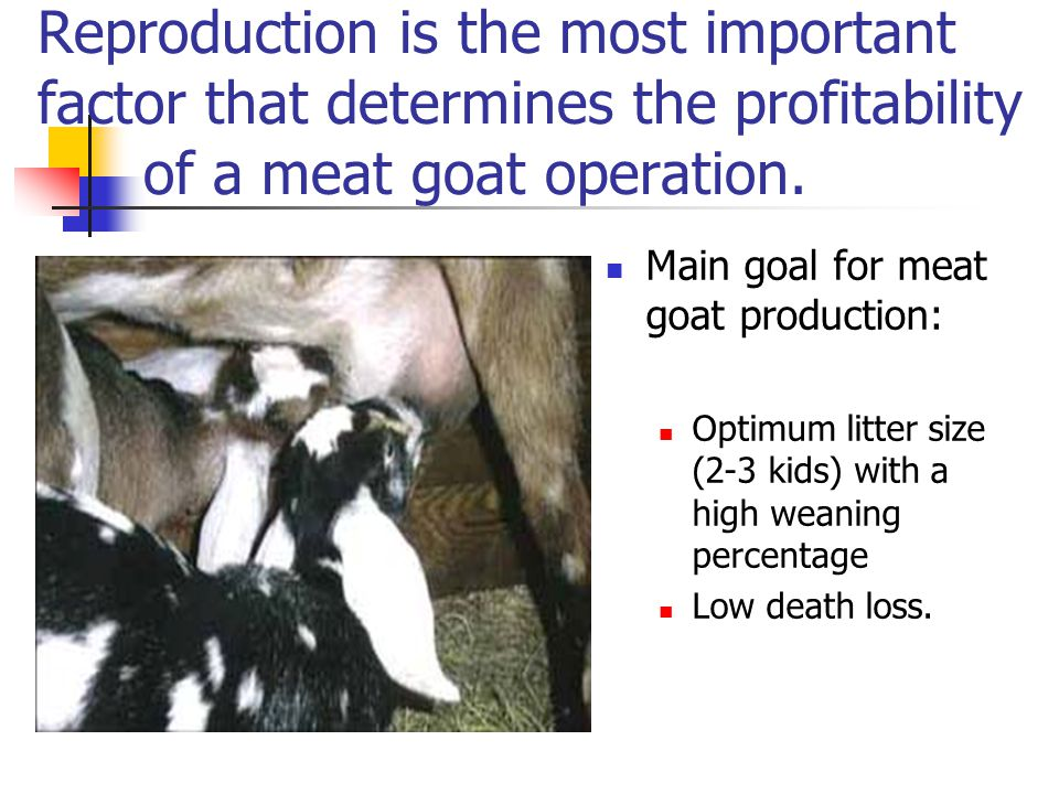 Reproduction is the most important factor that determines the profitability of a meat goat operation.