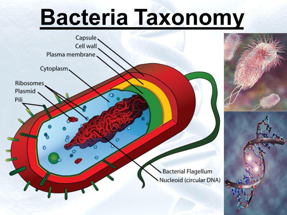 Bacteria Taxonomy