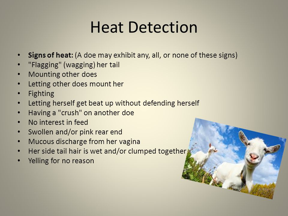 Heat Detection Signs of heat: (A doe may exhibit any, all, or none of these signs) Flagging (wagging) her tail Mounting other does Letting other does mount her Fighting Letting herself get beat up without defending herself Having a crush on another doe No interest in feed Swollen and/or pink rear end Mucous discharge from her vagina Her side tail hair is wet and/or clumped together Yelling for no reason