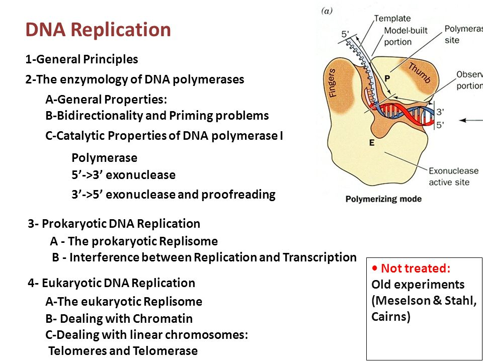 DNA Replication 1-General Principles 2-The enzymology of DNA polymerases 3- Prokaryotic DNA Replication 4- Eukaryotic DNA Replication A-General Proper