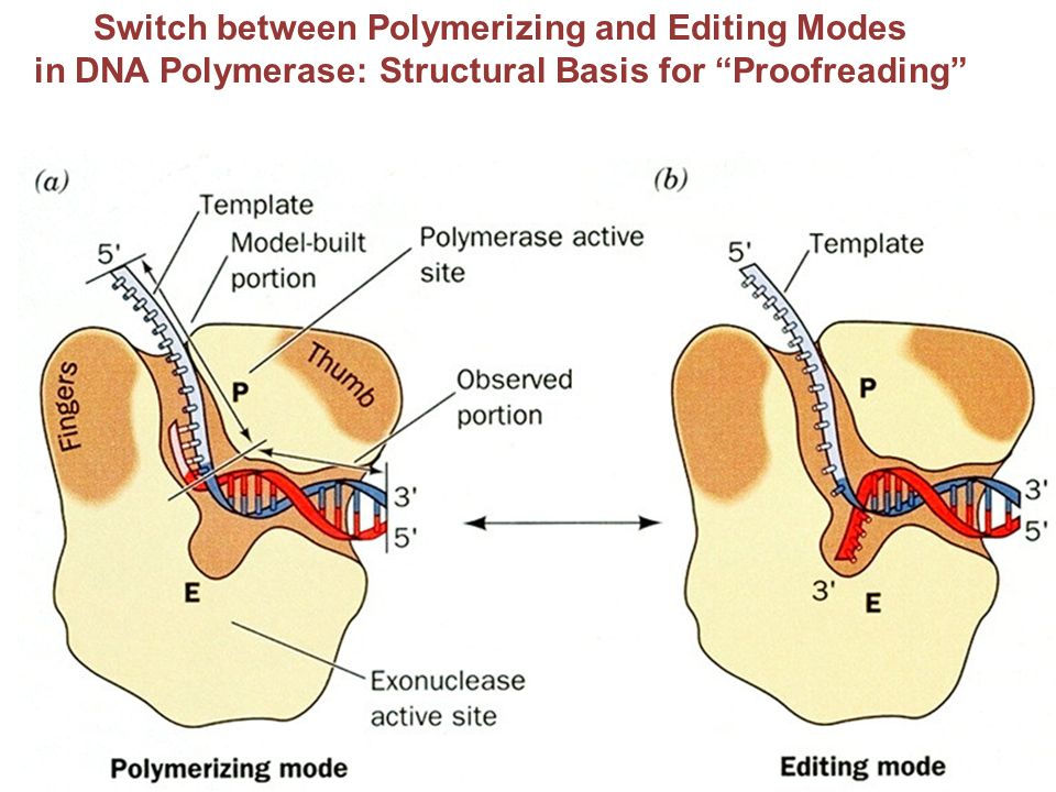 "Switch between Polymerizing and Editing Modes in DNA Polymerase: Structural Basis for ""Proofreading"""