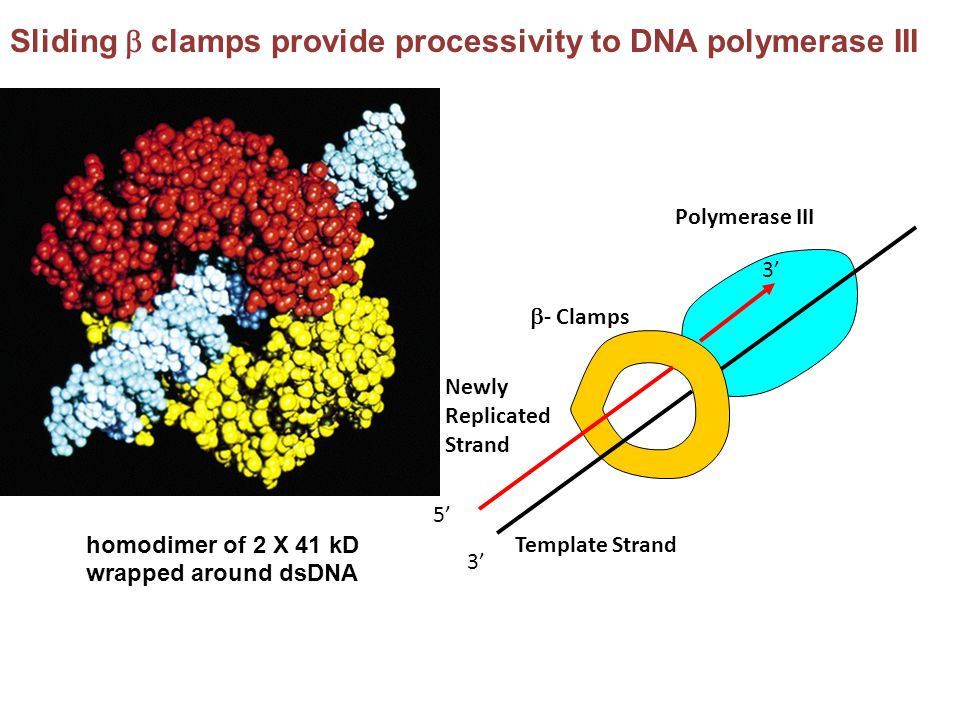Sliding  clamps provide processivity to DNA polymerase III 5' 3' Template Strand Newly Replicated Strand Polymerase III  - Clamps homodimer of 2 X 4