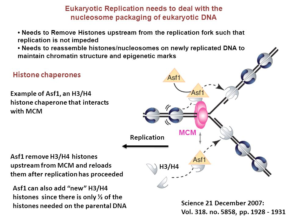 Eukaryotic Replication needs to deal with the nucleosome packaging of eukaryotic DNA Science 21 December 2007: Vol. 318. no. 5858, pp. 1928 - 1931 H3/