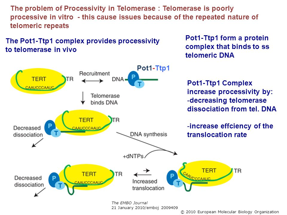 The EMBO Journal 21 January 2010/emboj 2009409 © 2010 European Molecular Biology Organization The problem of Processivity in Telomerase : Telomerase i