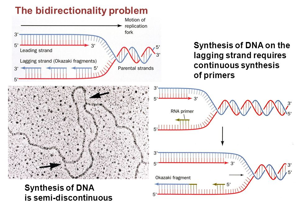 The bidirectionality problem Synthesis of DNA is semi-discontinuous Synthesis of DNA on the lagging strand requires continuous synthesis of primers