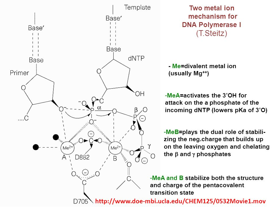 - Me=divalent metal ion (usually Mg ++ ) Two metal ion mechanism for DNA Polymerase I (T.Steitz) -MeA=activates the 3'OH for attack on the a phosphate
