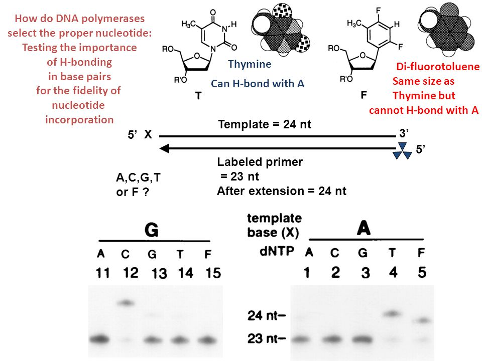 5' 3' X Template = 24 nt 5' Labeled primer = 23 nt After extension = 24 nt A,C,G,T or F ? How do DNA polymerases select the proper nucleotide: Testing