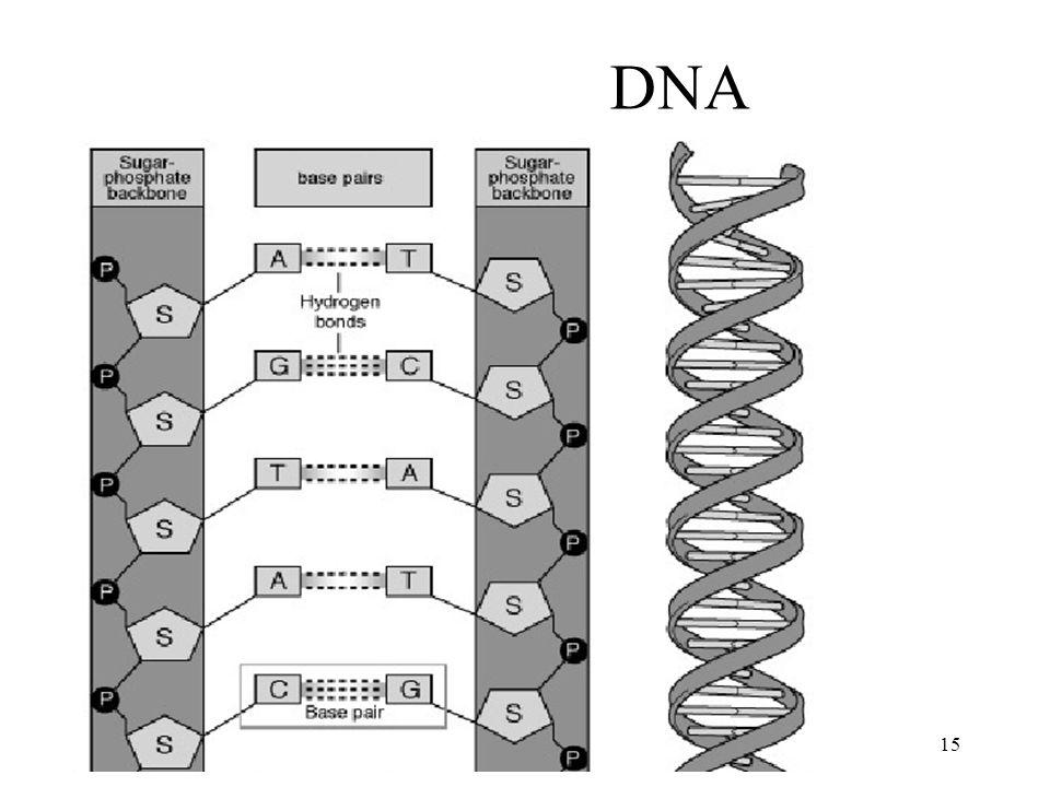 15 DNA