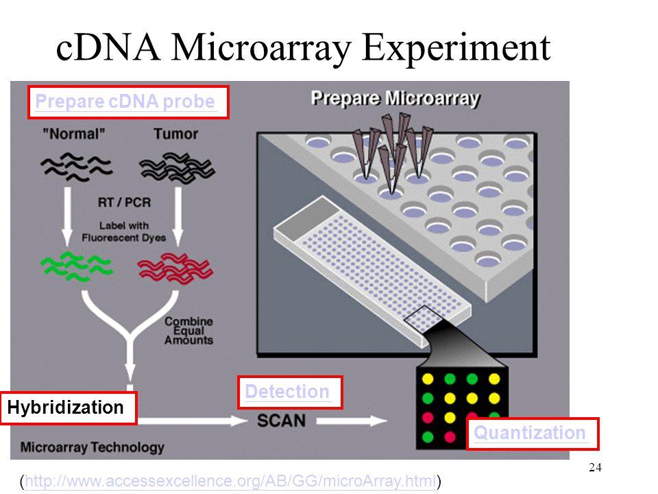 24 cDNA Microarray Experiment Hybridization Detection Quantization Prepare cDNA probe (http://www.accessexcellence.org/AB/GG/microArray.html)http://www.accessexcellence.org/AB/GG/microArray.html