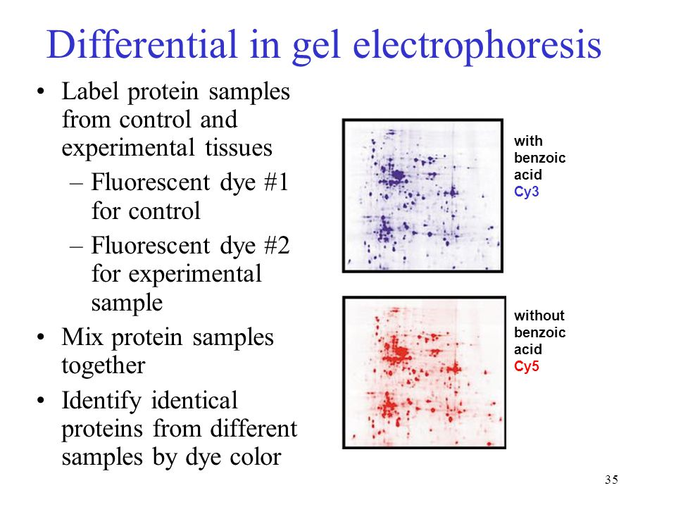 35 Differential in gel electrophoresis Label protein samples from control and experimental tissues –Fluorescent dye #1 for control –Fluorescent dye #2 for experimental sample Mix protein samples together Identify identical proteins from different samples by dye color with benzoic acid Cy3 without benzoic acid Cy5