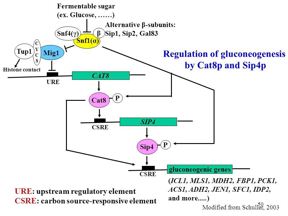 50 Regulation of gluconeogenesis by Cat8p and Sip4p Mig1 Snf1(α) Snf4(γ) β Alternative β-subunits: Sip1, Sip2, Gal83 Fermentable sugar (ex.