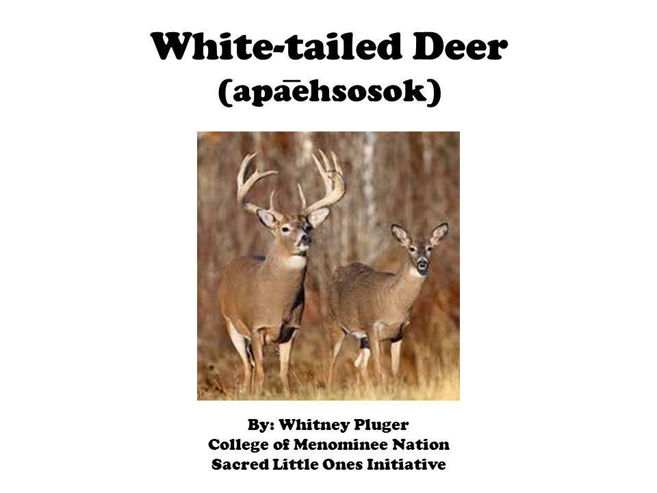 White-tailed Deer (apaehsosok) By: Whitney Pluger College of Menominee Nation Sacred Little Ones Initiative