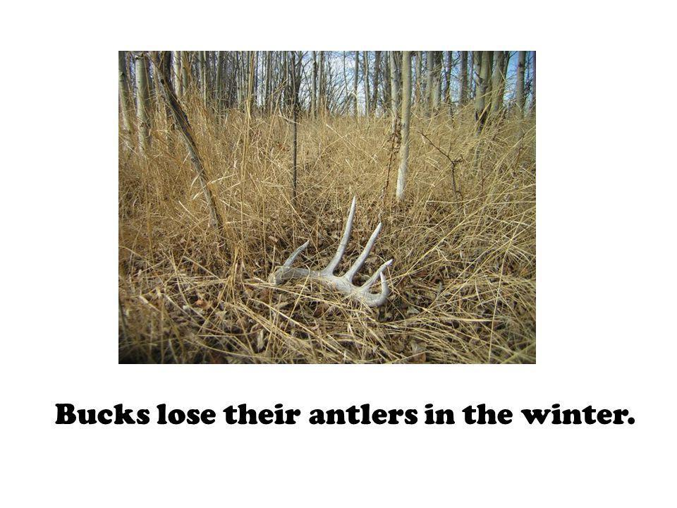 Bucks lose their antlers in the winter.