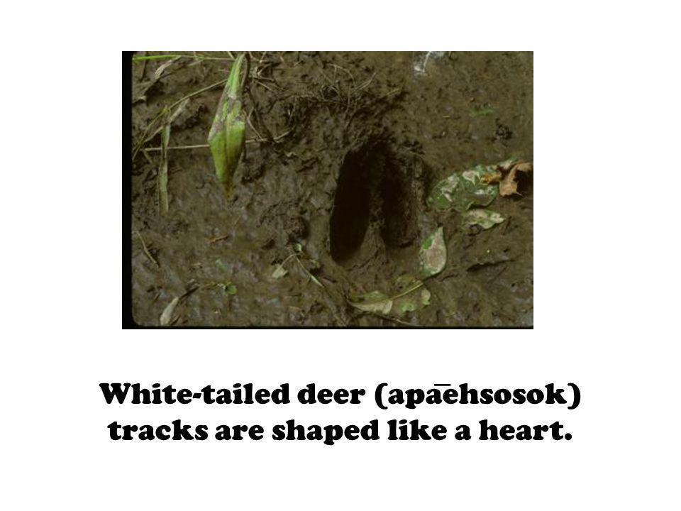 White-tailed deer (apaehsosok) tracks are shaped like a heart.