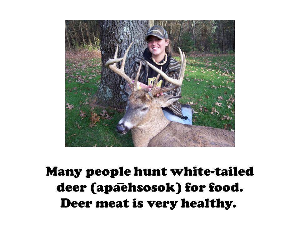 Many people hunt white-tailed deer (apaehsosok) for food. Deer meat is very healthy.