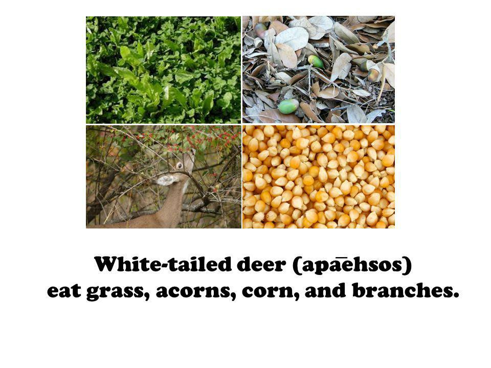 White-tailed deer (apaehsos) eat grass, acorns, corn, and branches.