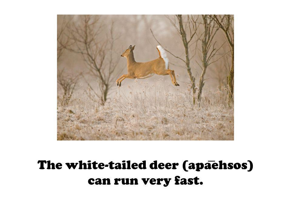 The white-tailed deer (apaehsos) can run very fast.