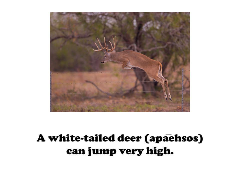 A white-tailed deer (apaehsos) can jump very high.