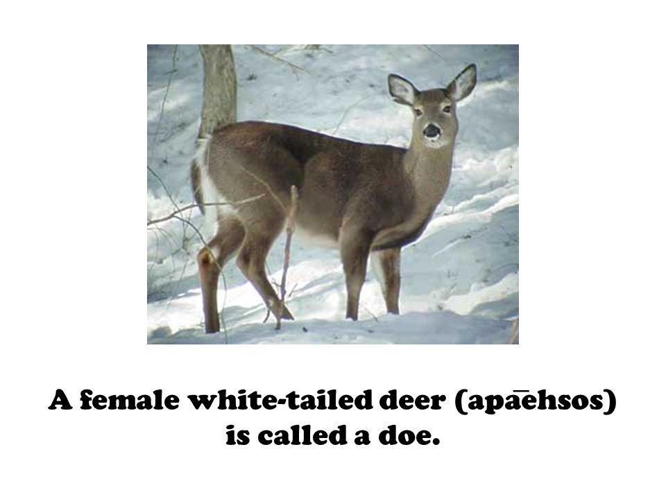 A female white-tailed deer (apaehsos) is called a doe.