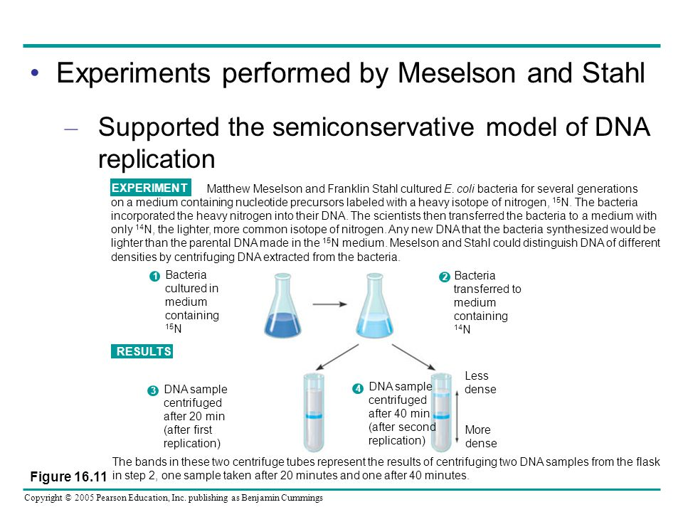 Copyright © 2005 Pearson Education, Inc. publishing as Benjamin Cummings Experiments performed by Meselson and Stahl – Supported the semiconservative
