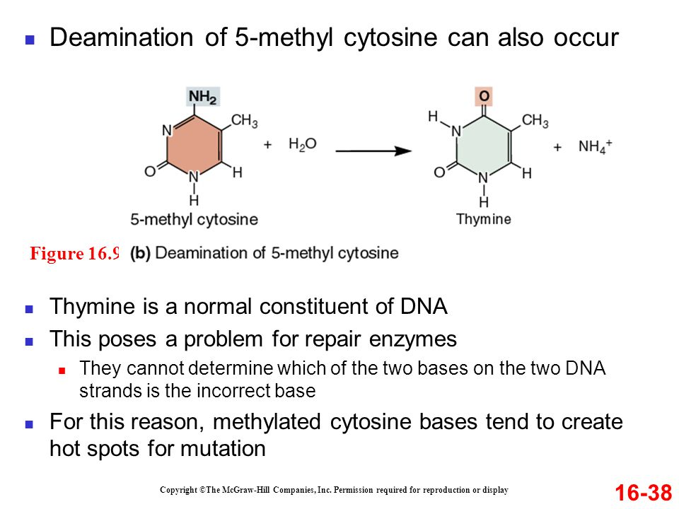 Copyright ©The McGraw-Hill Companies, Inc. Permission required for reproduction or display Deamination of 5-methyl cytosine can also occur 16-38 Thymi