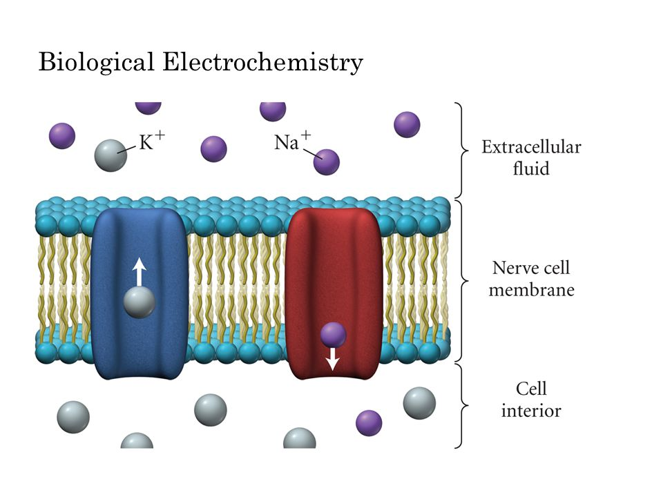 Biological Electrochemistry