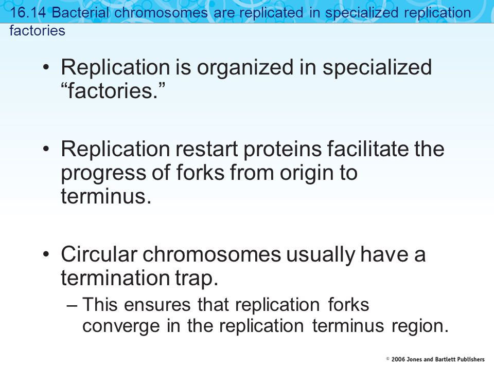 """Replication is organized in specialized """"factories."""" Replication restart proteins facilitate the progress of forks from origin to terminus. Circular c"""