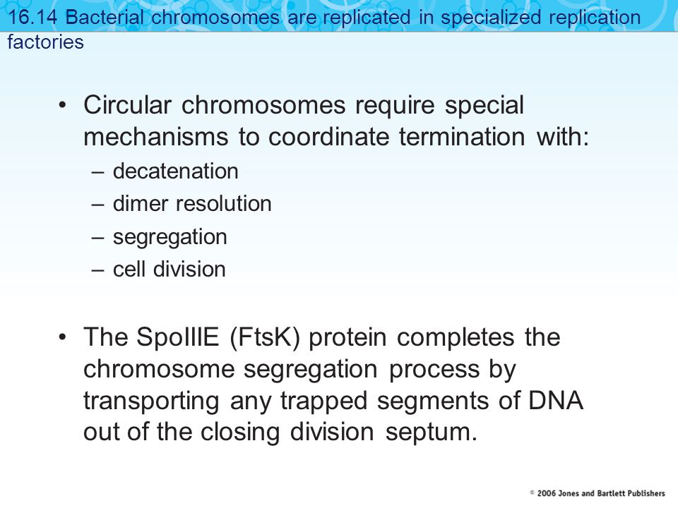 Circular chromosomes require special mechanisms to coordinate termination with: –decatenation –dimer resolution –segregation –cell division The SpoIII