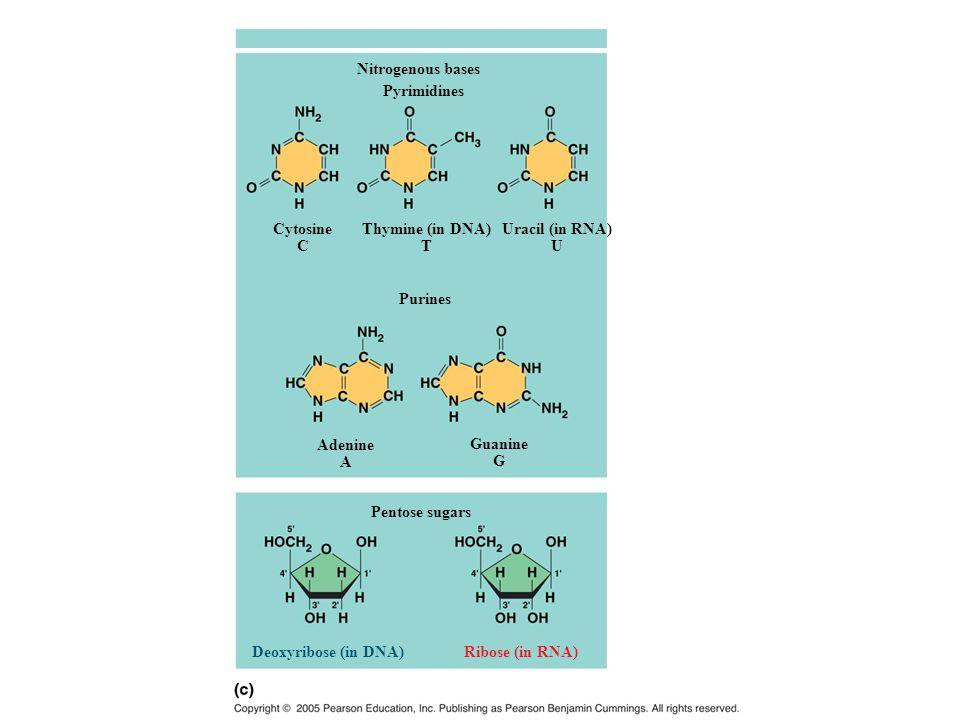 Nitrogenous bases Pyrimidines Purines Pentose sugars Cytosine C Thymine (in DNA) T Uracil (in RNA) U Adenine A Guanine G Deoxyribose (in DNA)Ribose (i