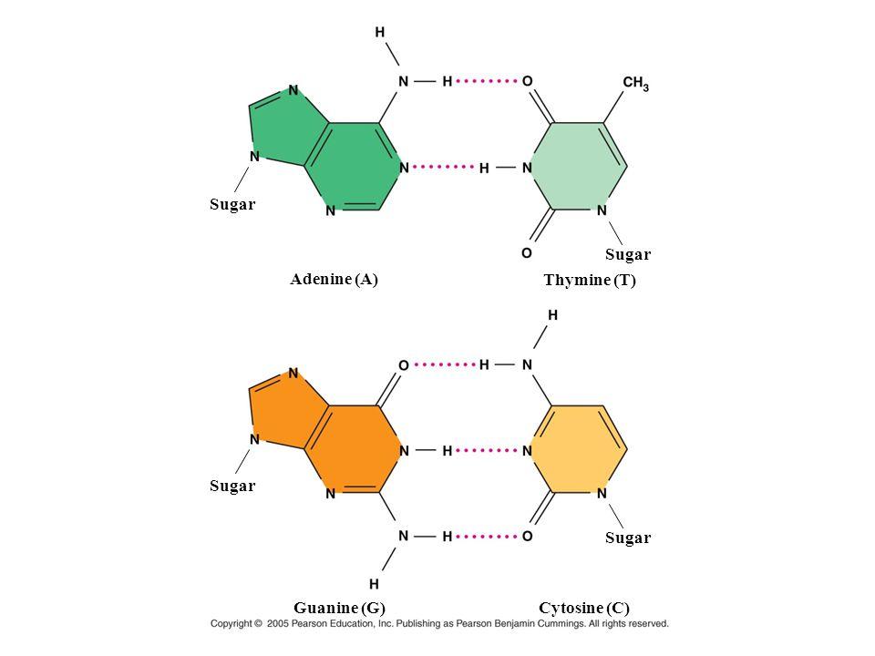 Adenine (A) Thymine (T) Guanine (G) Cytosine (C) Sugar