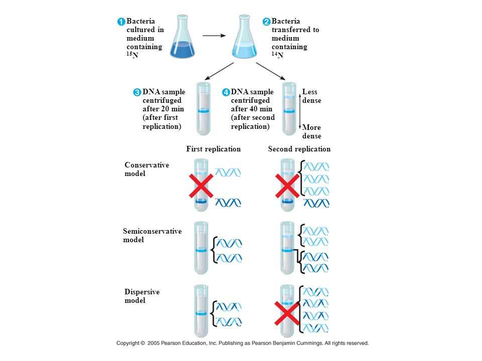 Bacteria cultured in medium containing 15 N DNA sample centrifuged after 20 min (after first replication) DNA sample centrifuged after 40 min (after s