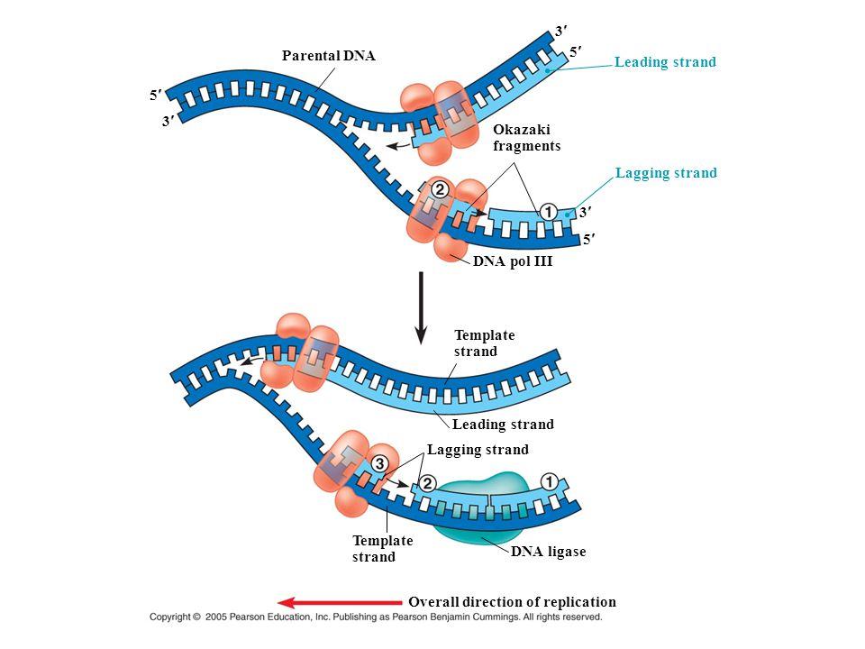 Parental DNA 5 3 Leading strand 3 5 3 5 Okazaki fragments Lagging strand DNA pol III Template strand Leading strand Lagging strand DNA ligase Template