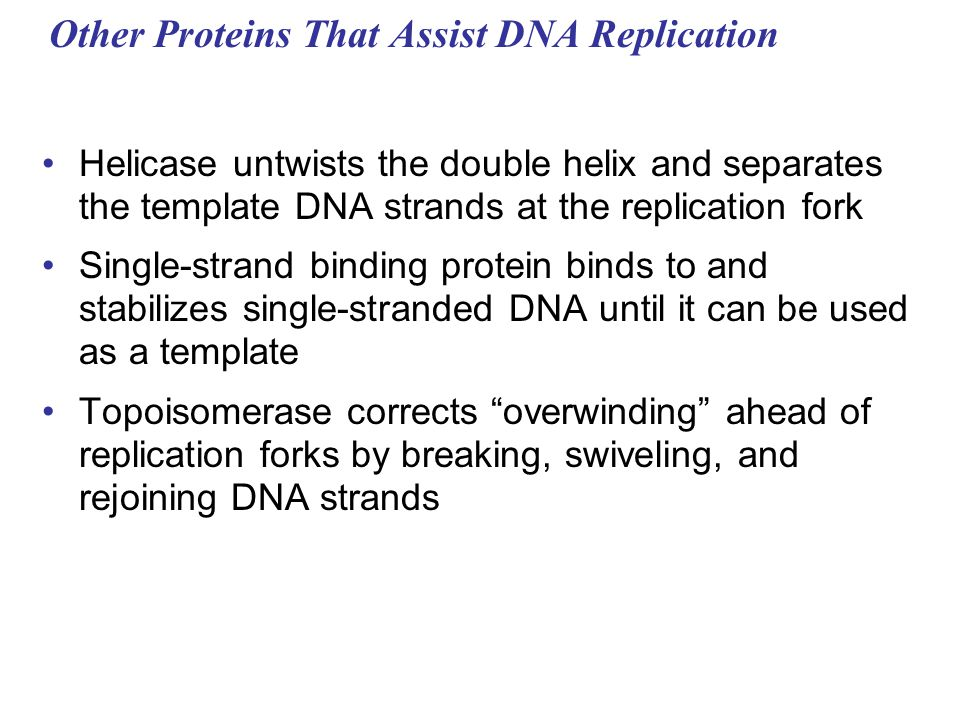 Other Proteins That Assist DNA Replication Helicase untwists the double helix and separates the template DNA strands at the replication fork Single-st