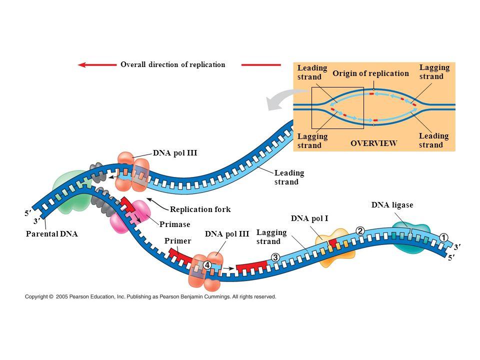 5 3 Parental DNA 3 5 Overall direction of replication DNA pol III Replication fork Leading strand DNA ligase Primase OVERVIEW Primer DNA pol III DNA p