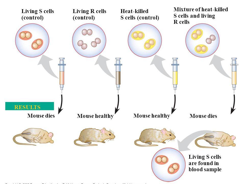 Living S cells (control) Living R cells (control) Heat-killed S cells (control) Mixture of heat-killed S cells and living R cells Mouse dies Living S