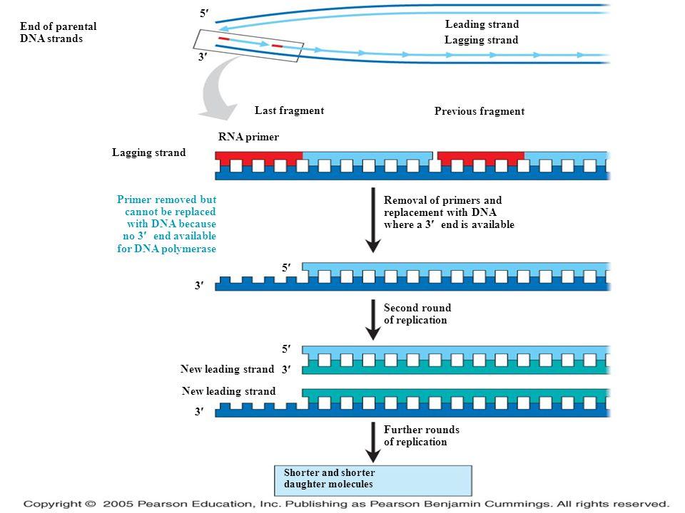 LE 16-18 5 3 5 End of parental DNA strands 5 3 Lagging strand Last fragment RNA primer Leading strand Lagging strand Previous fragment Primer removed